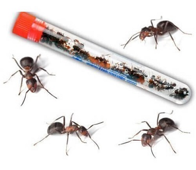 2-tubes-of-25-harvester-ants-each
