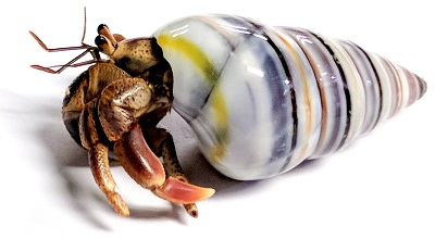 live purple pincher hermit crabs for sale nature gift store