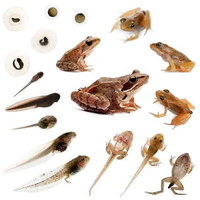 life cycle of a frog - Picture Of A Frog