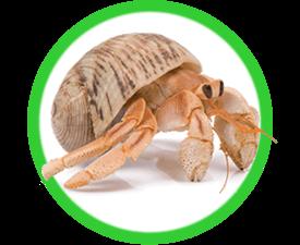 Hermit Crabs: Starter Pets