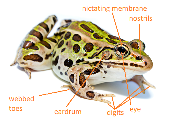 Labelled Diagram of a Leopard Frog