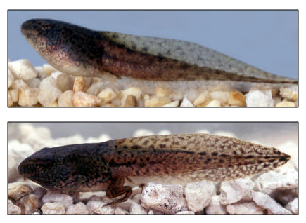 Leopard Frog Tadpoles with spots and fin arch