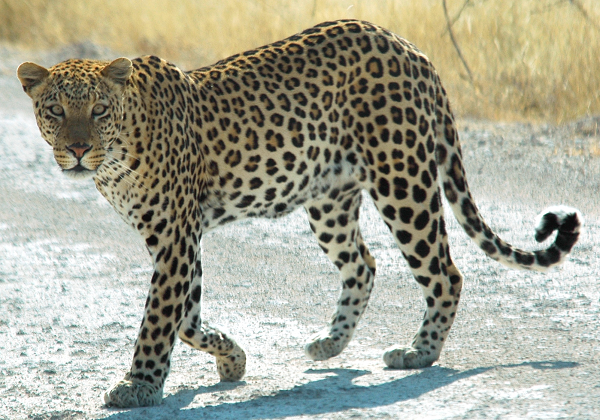 leopard-pattern-600x420